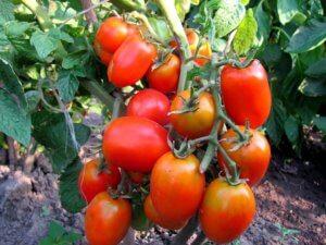 Прекрасный урожай томата новичок на дачном участке