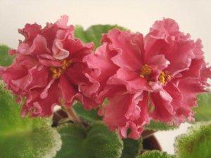 Цветение фиалки шикарный мак