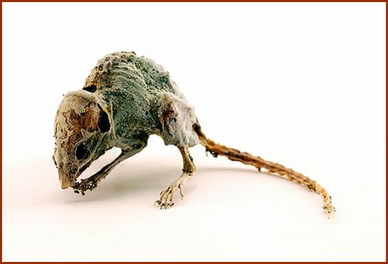 Как выбрать яды для мышей: виды, эффект, отзывы