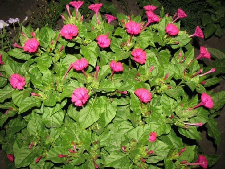 Обильное цветение ночной красавицы