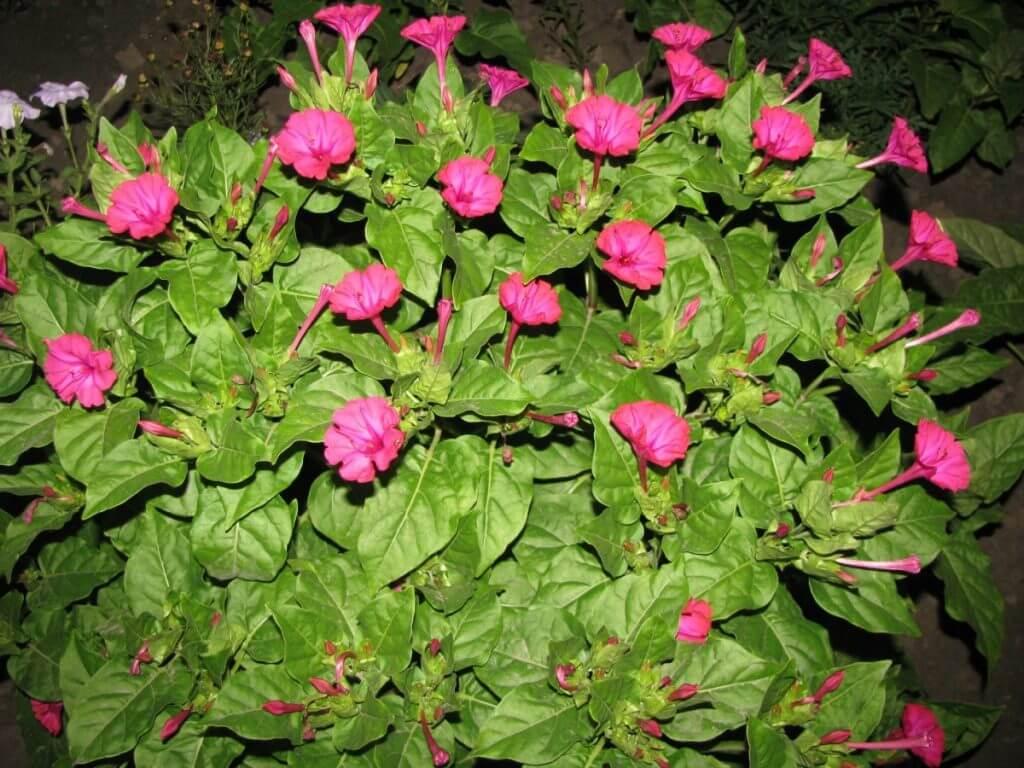 Ночная красавица - выращивание из семян, когда сажать