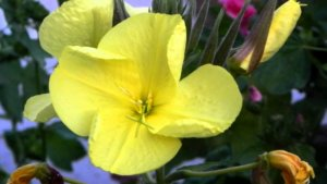 Одна из разновидностей цветение ночной красавицы