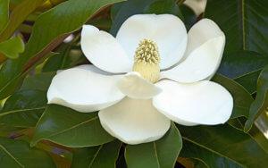 Цветение фикуса