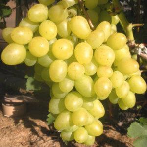 Виноград Аркадия: отзывы о сорте и правила выращивания