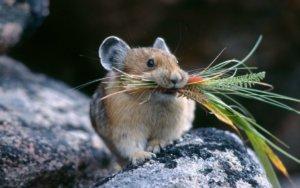 Мыши - разносчики инфекции