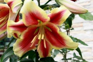 Одна из разновидностей лилии