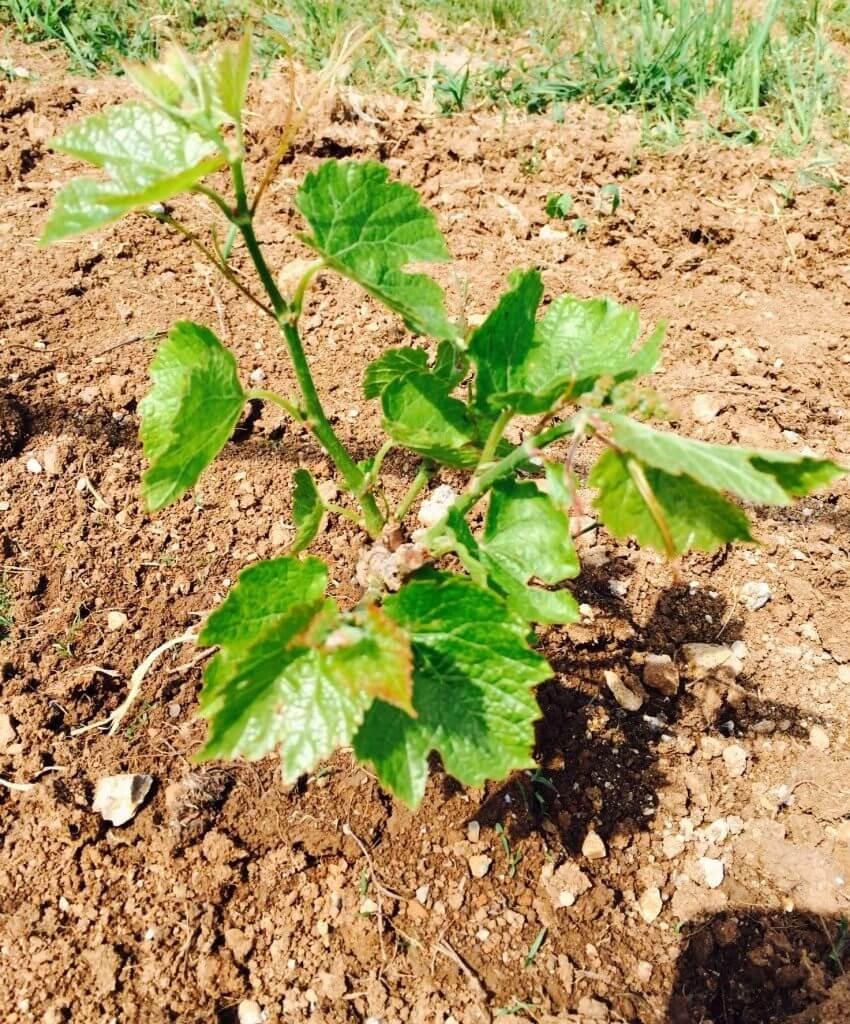 Как обрезать молодой виноград: описание, нюансы и советы
