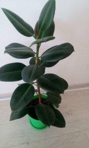 Лат. Ficus elastica