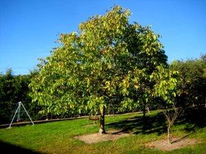 Взрослое дерево грецкого ореха