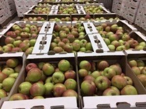 Хранение яблок в подвале