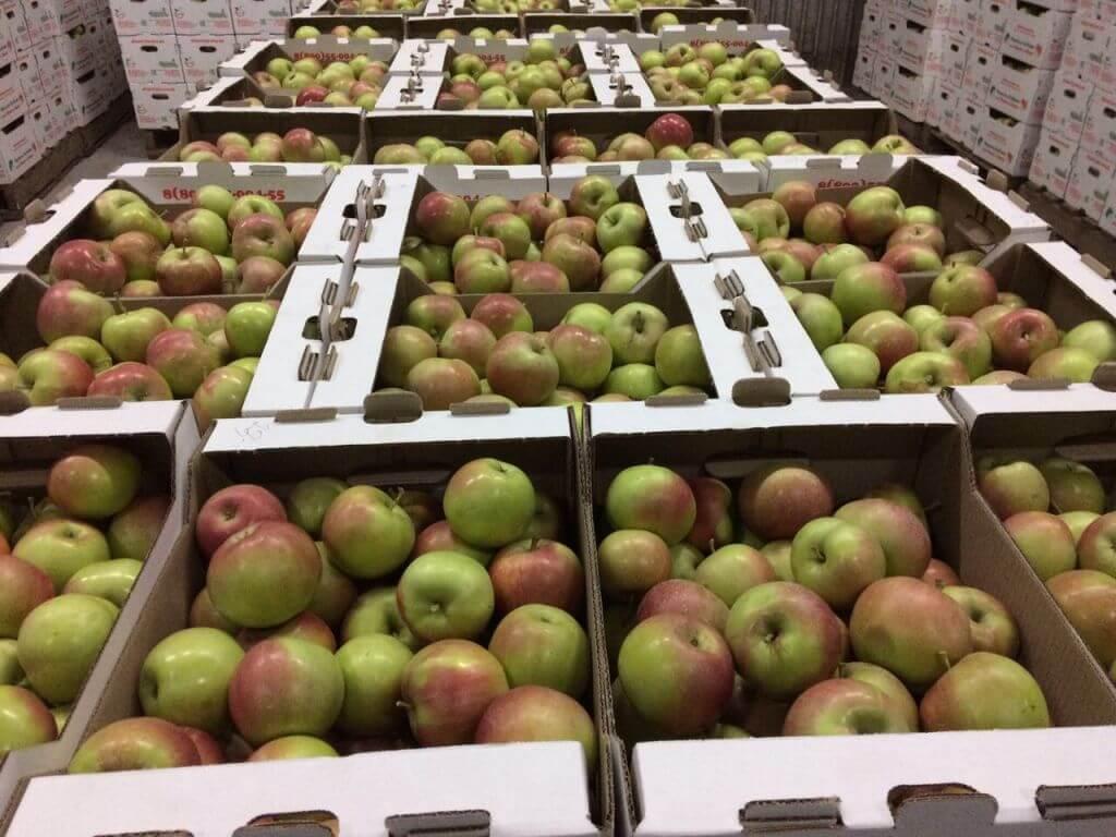 Температура хранения яблок: как сохранить собранный урожай