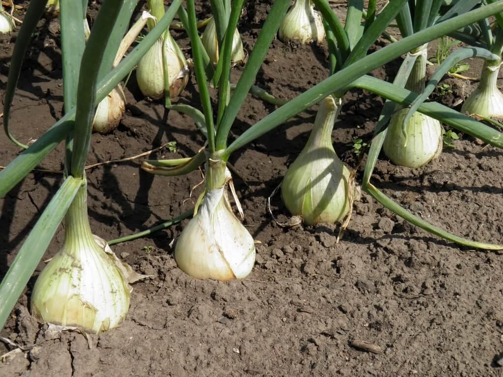 Как производится посадка лука и чеснока на зиму