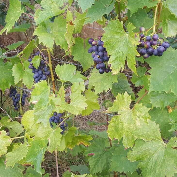Выращивание винограда Мускат блау на шпалере - фото