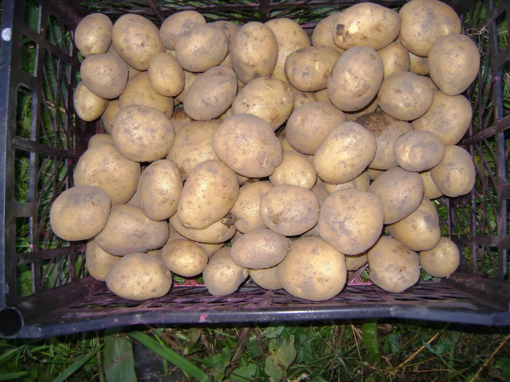 Картофель Рогнеда, описание сорта, урожайность, болезни и вредители