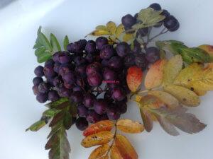 Рябина Бурка - фото плодов
