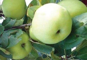 Плодоношение яблони Кроха - фото