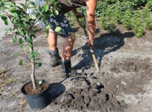 Когда пересаживать яблони - весной или осенью{q}