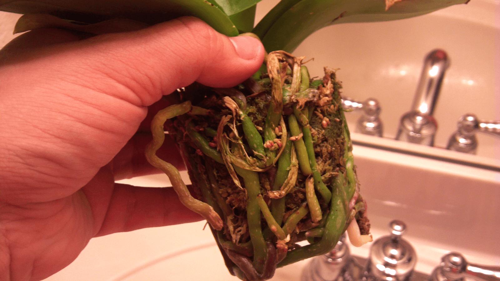 всех пересадка орхидеи пошаговое фото фолловеры поддержали