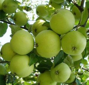 Яблоня сорта Кроха - фото плодов