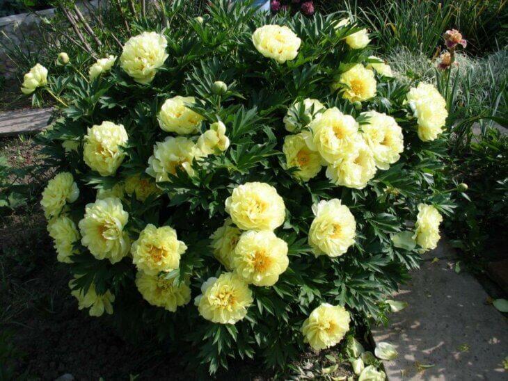 Пион ито гибрид Бартзелла - фото цветения