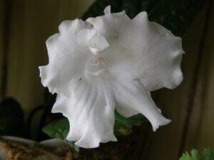 белый стрептокарпус