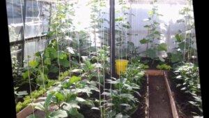 грядки с разными растениями в теплице
