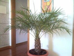 пальма в доме