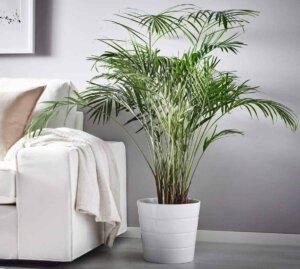 Особенности выращивания комнатной пальмы — секреты большого и красивого дерева