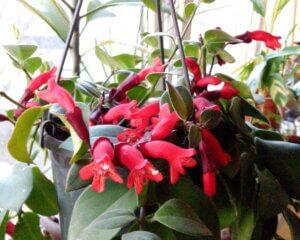 цветущий эсхинантус