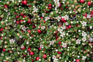цветущий кизильник