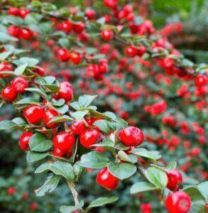 ягоды кизильника