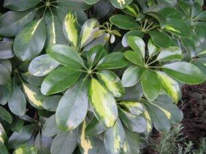 листья шефлеры