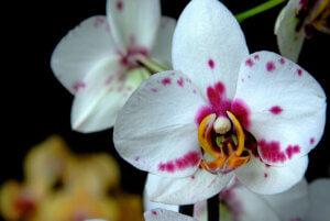 пестрая орхидея