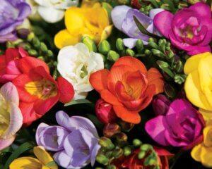 разноцветная фрезия
