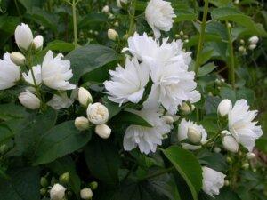 белые цветы чубушника