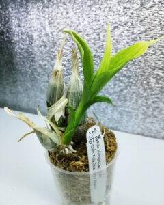 орхидея с зелеными листьями