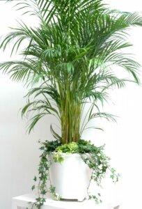 пальма финиковая в горшке