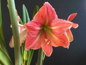 амариллис красный цветок