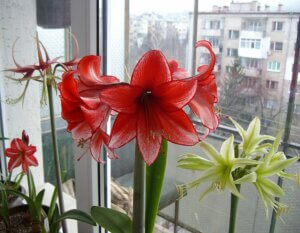 амариллисы цветут