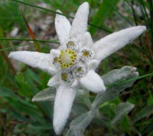 белый эдельвейс