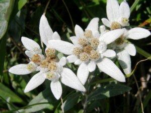 эдельвейсы белые