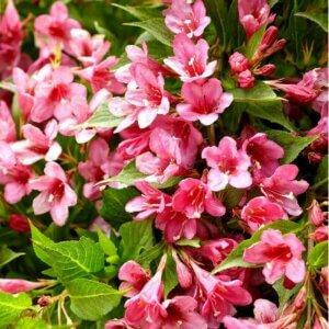 цветок вейгела пестролистная