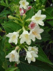 вейгела с белыми цветами