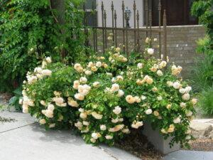 роза кустистая