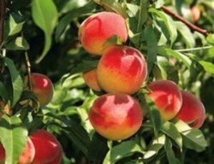 яркие персики