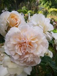 роза цветущая